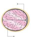 cervello Fotografia Stock Libera da Diritti