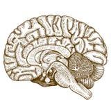 Cervello antico dell'illustrazione dell'incisione Immagine Stock Libera da Diritti
