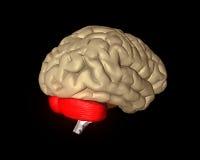 Cervello cerebrale royalty illustrazione gratis