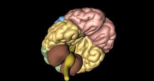 Cervello, cervelletto e midollo allungato nella rotazione veduta da sotto royalty illustrazione gratis