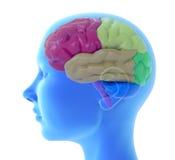 cervello umano 3d Fotografia Stock Libera da Diritti