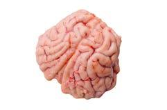 Cervello di un cervo con coda nera Immagine Stock