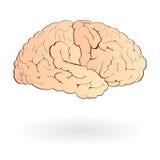 Cervello isolato Immagine Stock Libera da Diritti