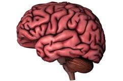 Cervello laterale umano Immagini Stock