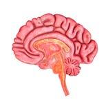 Cervello umano Immagini Stock