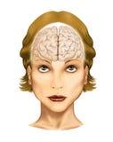 Cervello umano Fotografia Stock