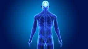 Cervello umano con anatomia royalty illustrazione gratis