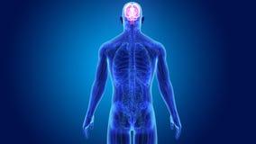 Cervello umano con anatomia illustrazione vettoriale