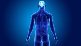 Cervello umano con gli organi royalty illustrazione gratis