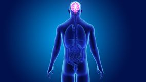 Cervello umano con gli organi stock footage