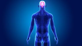 Cervello umano con lo scheletro stock footage