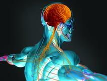 Cervello umano e sustem nervoso Immagini Stock Libere da Diritti