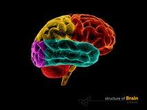 Cervello umano, struttura di anatomia Illustrazione di anatomia 3d del cervello umano royalty illustrazione gratis