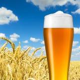 Cerveza bávara del trigo en un campo de trigo Imagen de archivo