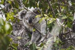 Cerveza de la koala en el árbol fotografía de archivo libre de regalías
