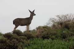Cervi al Bodega Marine Laboratory ( immagine stock