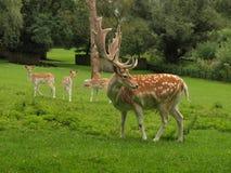 Cervi al campo dei cervi Fotografia Stock Libera da Diritti