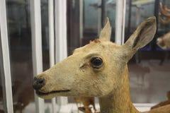Cervi al museo di storia naturale Fotografie Stock
