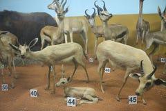 Cervi al museo di storia naturale Fotografia Stock Libera da Diritti