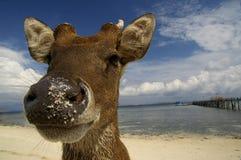 Cervi alla spiaggia Fotografia Stock Libera da Diritti