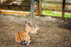 Cervi allo zoo esotico eccezionale in Tailandia Fotografia Stock Libera da Diritti