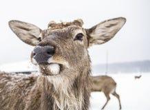 Cervi animali della museruola della foresta di inverno fotografia stock