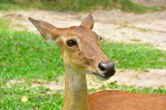 Cervi antlered di Brown fotografia stock