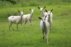 Cervi bianchi Fotografie Stock
