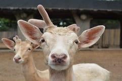Cervi bianchi con un corno Fotografie Stock