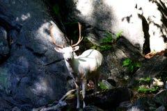 Cervi bianchi della montagna degli albini fotografia stock libera da diritti
