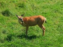 cervi Bianco-muniti che mangiano erba Fotografie Stock