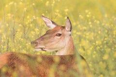 Cervi in Bush 1 Fotografie Stock