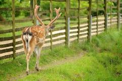 Cervi che camminano nel parco Immagini Stock Libere da Diritti