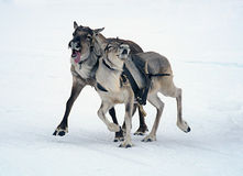 Cervi che corrono sulla neve Immagini Stock Libere da Diritti