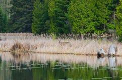Cervi che fissano dal lato del lago Immagine Stock