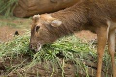 Cervi che mangiano erba. immagini stock