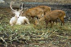 Cervi che mangiano erba e che riposano sull'erba immagine stock