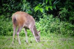 Cervi che mangiano l'erba nel parco nazionale di khaoyai, Tailandia fotografia stock libera da diritti