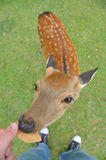 Cervi che mangiano un cracker Fotografia Stock Libera da Diritti
