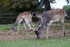 Cervi che pascono alla sosta di Charlecote Immagini Stock Libere da Diritti