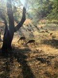 Cervi che pascono in assi di luce solare Fotografie Stock Libere da Diritti