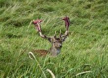 Cervi che recuperano con i antlers insanguinati Fotografie Stock Libere da Diritti