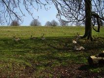 Cervi che riposano dal sole luminoso di inverno Fotografia Stock
