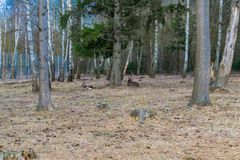 Cervi che riposano nella foresta del parco fotografie stock