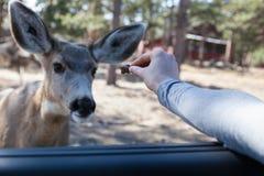 Cervi che si alimentano dalla mano Fotografia Stock Libera da Diritti