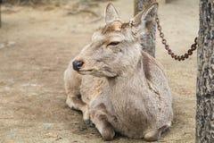 Cervi che si trovano sulla terra Fotografia Stock