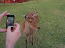 Cervi che sono fotografati sull'erba vicino al tempio di Todai-ji, Nara, Giappone Fotografia Stock