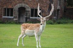 Cervi con i antlers che affrontano macchina fotografica Immagine Stock