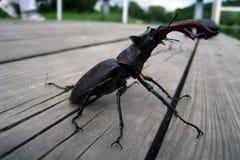 Cervi coraggiosi dello scarabeo che camminano sul banco immagine stock