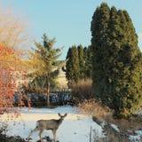 Cervi in cortile il giorno di inverno soleggiato Fotografia Stock